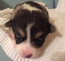 Pembroke Welsh Corgi Puppy for sale in JARREAU, LA, USA