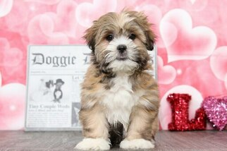 Lhasa Apso Puppy For Sale in BEL AIR, MD, USA