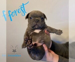 French Bulldog Puppy for Sale in SOMERS, Montana USA