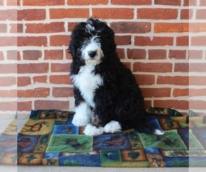 Bernedoodle Puppy for sale in PEACH BOTTOM, PA, USA
