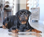 Small Photo #2 Rottweiler Puppy For Sale in FONTANA, CA, USA