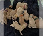 Small Photo #1 Goldendoodle Puppy For Sale in SALEM, OR, USA