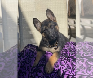 German Shepherd Dog Puppy for sale in TEMECULA, CA, USA