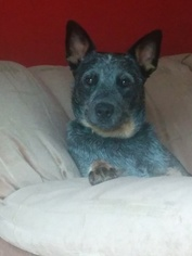 Australian Cattle Dog Dogs for adoption in LOUISVILLE, KY, USA