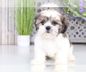 Shih Tzu Puppies for Sale near Fort Wayne, Indiana, USA, Page 1 (10