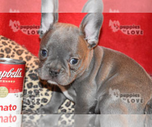 French Bulldog Dog for Adoption in SANGER, Texas USA
