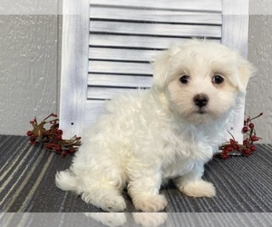 Maltese Puppy for sale in LOWELL, MA, USA