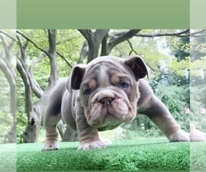 English Bulldog Puppy for sale in MANHATTAN, NY, USA