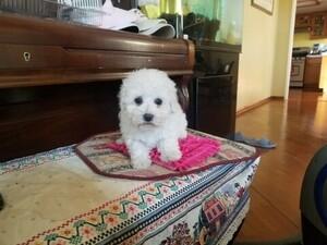 Maltipoo Puppy for sale in SANTA CLARITA, CA, USA