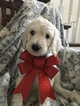 Puppy 0 Goldendoodle-Poodle (Standard) Mix