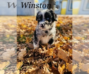Border Collie Puppy for sale in COOKEVILLE, TN, USA