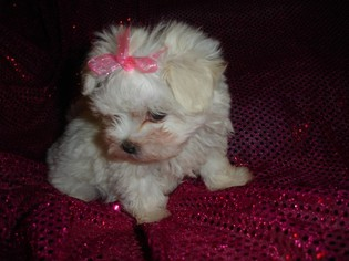 Maltese Puppy For Sale in BEVERLY HILLS, CA