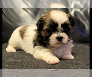 Shih Tzu Puppy for Sale in BOONVILLE, Indiana USA