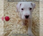 Small Photo #27 Dogo Argentino Puppy For Sale in PINEVILLE, MO, USA
