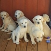 Labrador Retriever Puppy For Sale in HARRODSBURG, KY, USA