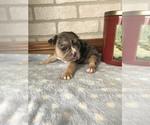 Puppy 0 French Bulldog