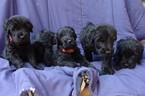 Black Russian Terrier Puppy For Sale in MINOCQUA, WI, USA