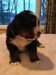 Bernese Mountain Dog Puppy For Sale in REDDING, CT, USA