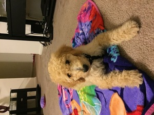Goldendoodle Puppy for sale in MISSION, KS, USA