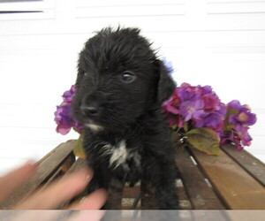 Bernedoodle Puppy for sale in SOUTH BEND, IN, USA