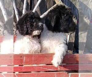 Labradoodle-Poodle (Standard) Mix Puppy for Sale in VERGENNES, Illinois USA