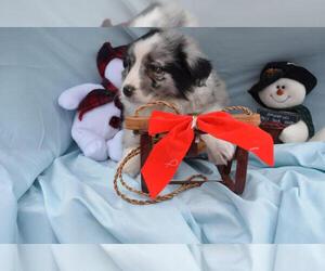 Australian Shepherd Puppy for sale in MILLERSBURG, OH, USA