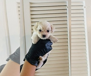 Shih-Poo Puppy for Sale in EL PASO, Texas USA