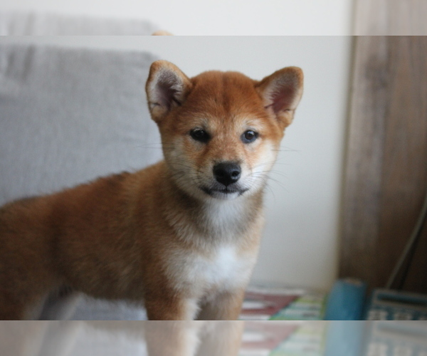Medium Photo #2 Shiba Inu Puppy For Sale in SEATTLE, WA, USA