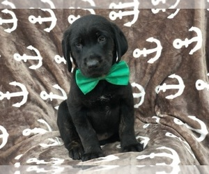 Golden Labrador Puppies for Sale in USA, Page 1 (10 per page