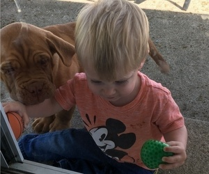 Dogue de Bordeaux Puppy for Sale in KOKOMO, Indiana USA