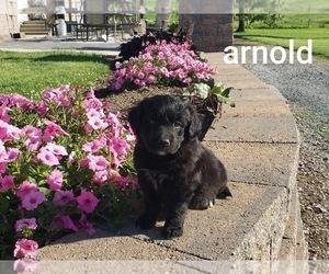 Borador Puppy for sale in HAMBURG, PA, USA