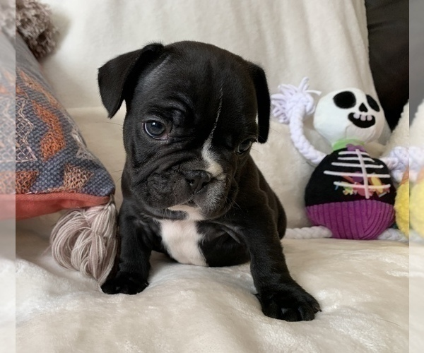 Medium Photo #9 French Bulldog Puppy For Sale in JOHNS ISLAND, SC, USA