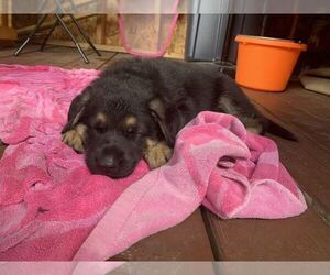 German Shepherd Dog Puppy for Sale in GILL, Massachusetts USA