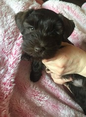 Schnauzer (Miniature) Puppy For Sale in AFTON, OK, USA