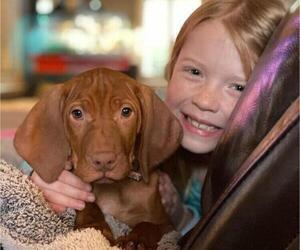 Vizsla Puppy for sale in SYLVA, NC, USA