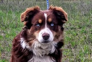 Australian Shepherd Puppy For Sale in COEUR D ALENE, ID, USA