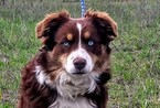 Australian Shepherd Puppy For Sale in COEUR D ALENE, ID, USA