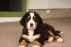 Bernese Mountain Dog Puppy For Sale in GOSHEN, IN, USA