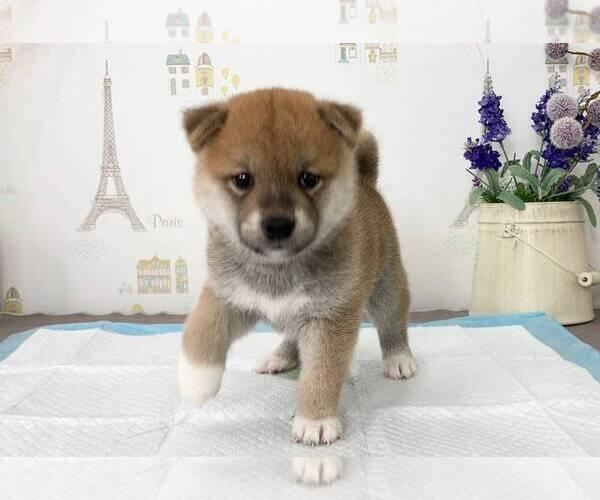 Medium Photo #5 Shiba Inu Puppy For Sale in SAN FRANCISCO, CA, USA