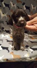 German Shorthaired Pointer Puppy For Sale in DENVER, PA, USA