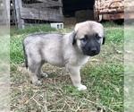 Small #6 Anatolian Shepherd