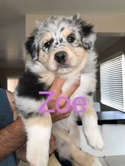 Australian Shepherd Puppy For Sale in PHOENIX, AZ