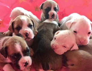 Boxer Puppy For Sale in DEER PARK, TX, USA