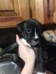 Pitt Boxer mix puppies