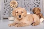 Golden Retriever Puppy For Sale near 43050, Mount Vernon, OH, USA