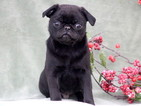 Pug Puppy For Sale in MOUNT JOY, PA,