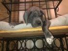 AKC Blue Great Dane Puppy Championship Bloodlines