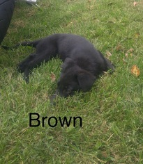German Shepherd Dog Puppy For Sale in AVA, MO