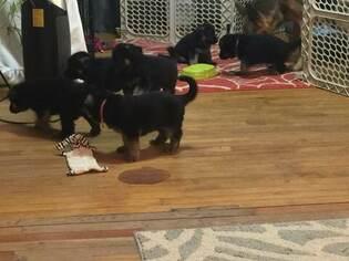 German Shepherd Dog Puppy For Sale near 48471, Sandusky, MI, USA