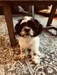 Shih Tzu Puppy For Sale in KEENE, NH, USA